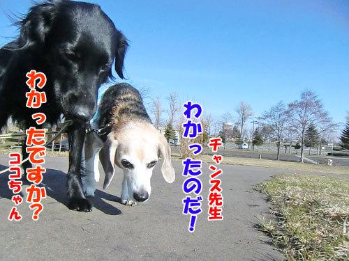 チャンスとティアラ+ココ-20130423-3-500.jpg