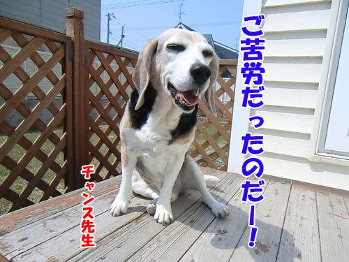 チャンスとティアラ+ココ-20130424-5-500.jpg