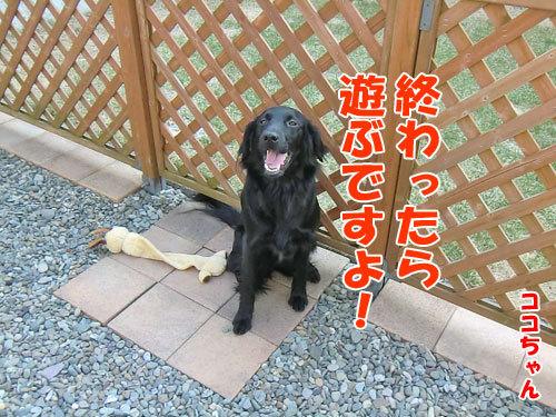 チャンスとティアラ+ココ-20130424-7-500.jpg