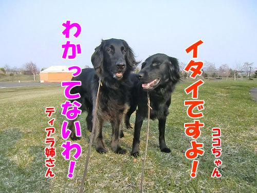 チャンスとティアラ+ココ-20130425-2-500.jpg