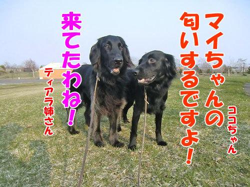 チャンスとティアラ+ココ-20130425-3-500.jpg