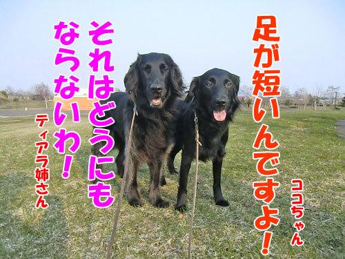 チャンスとティアラ+ココ-20130425-4-500.jpg