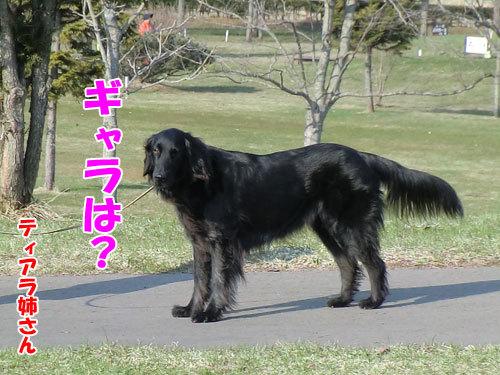 チャンスとティアラ+ココ-20130426-3-500.jpg