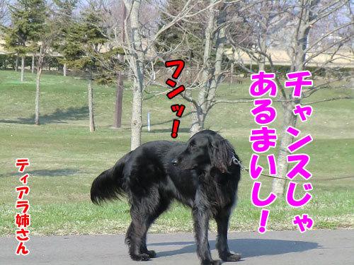 チャンスとティアラ+ココ-20130426-4-500.jpg