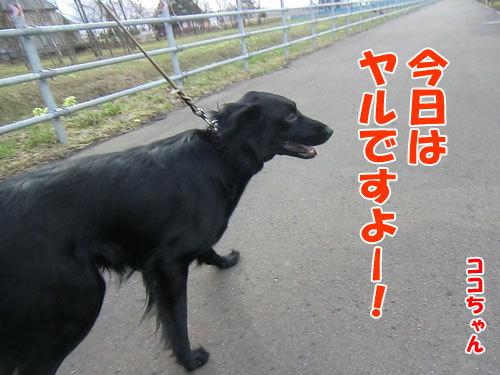 チャンスとティアラ+ココ-20130427-1-500.jpg