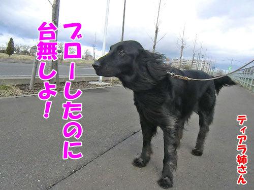 チャンスとティアラ+ココ-20130427-2-500.jpg
