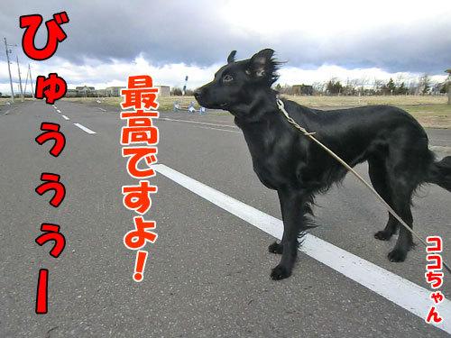 チャンスとティアラ+ココ-20130427-3-500.jpg