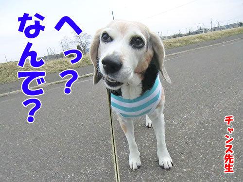 チャンスとティアラ+ココ-20130428-2-500.jpg