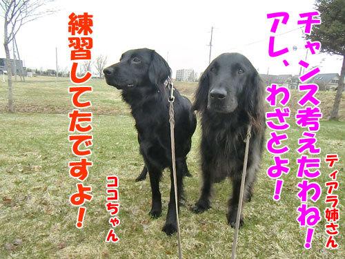 チャンスとティアラ+ココ-20130428-5-500.jpg