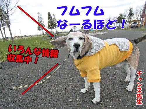 チャンスとティアラ+ココ-20130429-5-500.jpg