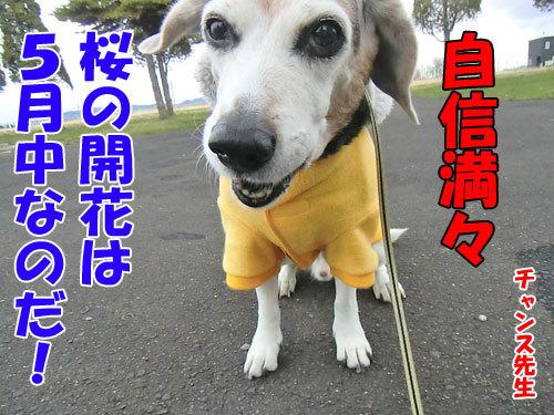 チャンスとティアラ+ココ-20130429-6-500.jpg