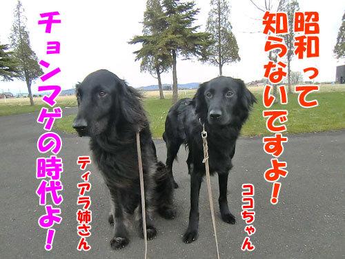 チャンスとティアラ+ココ-20130429-9-500.jpg