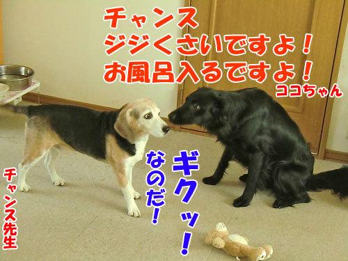 チャンスとティアラ+ココ-20130430-1-500.jpg