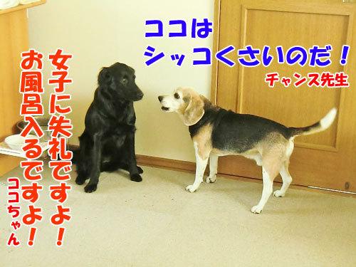 チャンスとティアラ+ココ-20130430-2-500.jpg