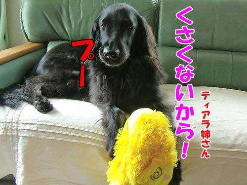 チャンスとティアラ+ココ-20130430-3-500.jpg