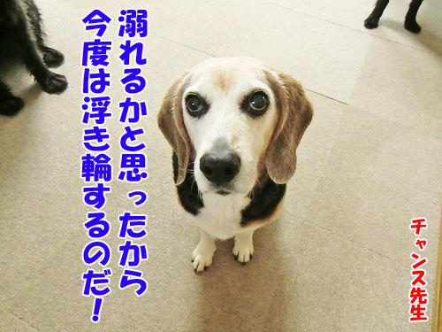 チャンスとティアラ+ココ-20130430-4-500.jpg