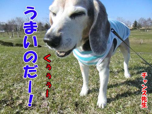 チャンスとティアラ+ココ-20130501-1-500.jpg