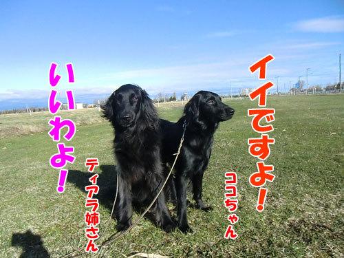 チャンスとティアラ+ココ-20130503-1-500.jpg