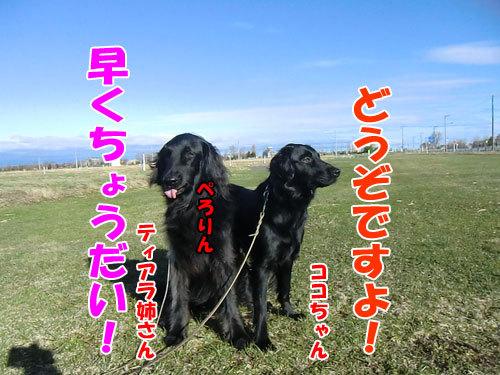 チャンスとティアラ+ココ-20130503-2-500.jpg