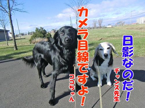 チャンスとティアラ+ココ-20130503-3-500.jpg