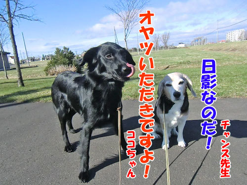 チャンスとティアラ+ココ-20130503-4-500.jpg