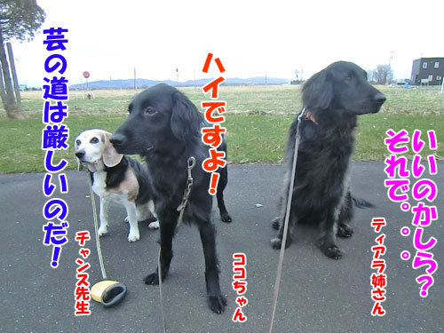 チャンスとティアラ+ココ-20130504-1-500.jpg