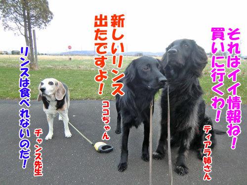 チャンスとティアラ+ココ-20130504-2-500.jpg