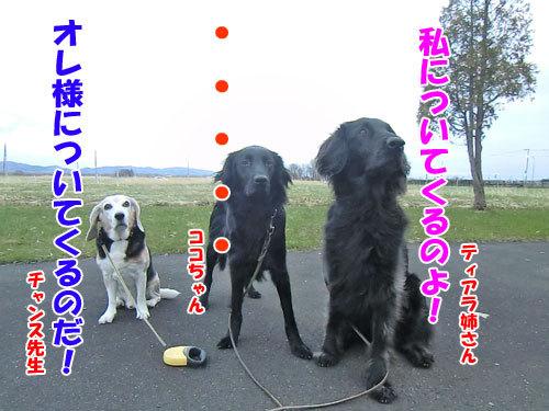 チャンスとティアラ+ココ-20130504-3-500.jpg