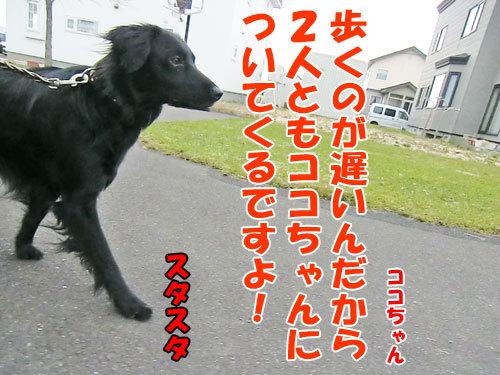 チャンスとティアラ+ココ-20130504-4-500.jpg
