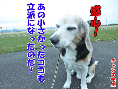 チャンスとティアラ+ココ-20130504-5-500.jpg