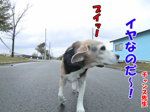 チャンスとティアラ+ココ-20130505-1-500.jpg