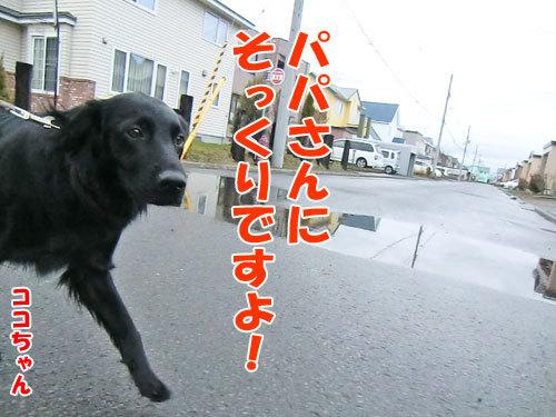 チャンスとティアラ+ココ-20130505-4-500.jpg
