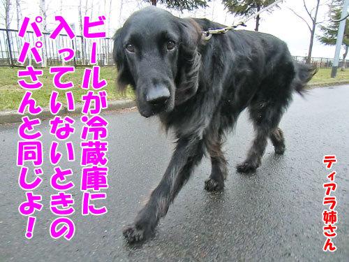 チャンスとティアラ+ココ-20130505-5-500.jpg