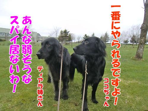 チャンスとティアラ+ココ-20130506-3-500.jpg