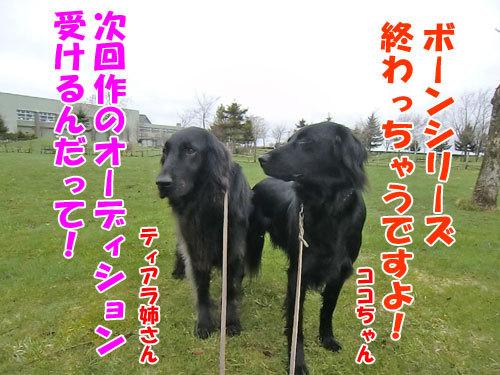 チャンスとティアラ+ココ-20130506-4-500.jpg