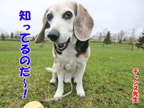 チャンスとティアラ+ココ-20130506-5-500.jpg