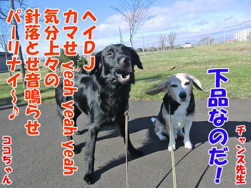チャンスとティアラ+ココ-20130507-4-500.jpg