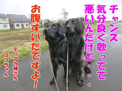 チャンスとティアラ+ココ-20130507-5-500.jpg