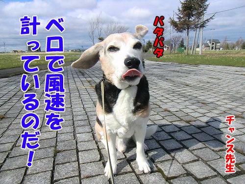 チャンスとティアラ+ココ-20130508-1-500.jpg