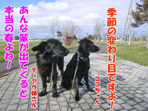 チャンスとティアラ+ココ-20130508-4-500.jpg