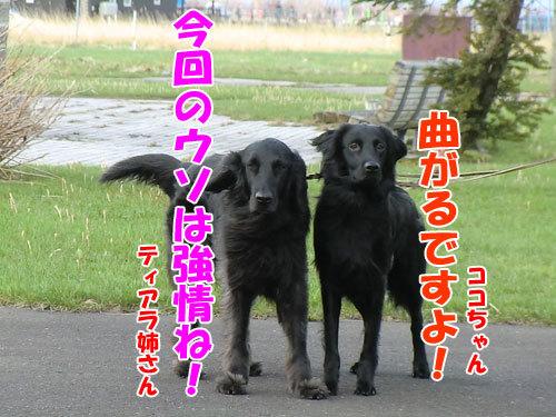 チャンスとティアラ+ココ-20130508-6-500.jpg