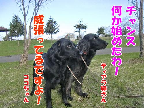 チャンスとティアラ+ココ-20130509-1-500.jpg