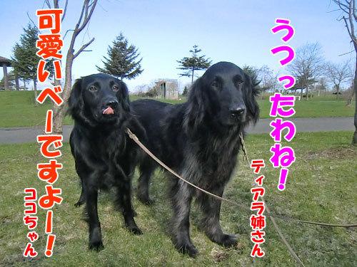 チャンスとティアラ+ココ-20130509-4-500.jpg