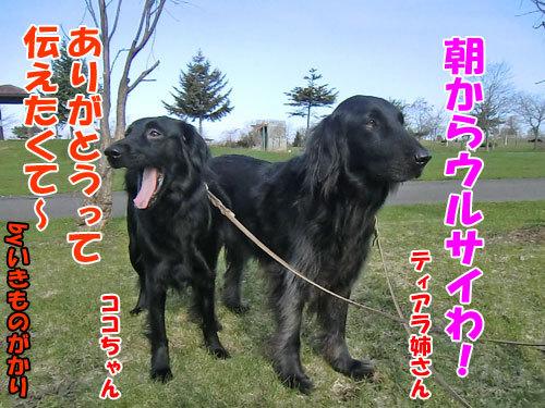 チャンスとティアラ+ココ-20130509-6-500.jpg
