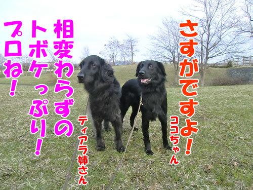 チャンスとティアラ+ココ-20130510-3-500.jpg