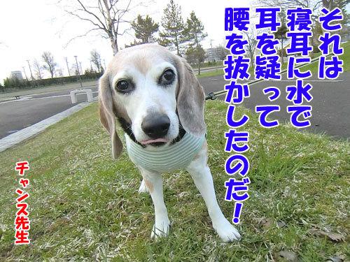 チャンスとティアラ+ココ-20130510-5-500.jpg