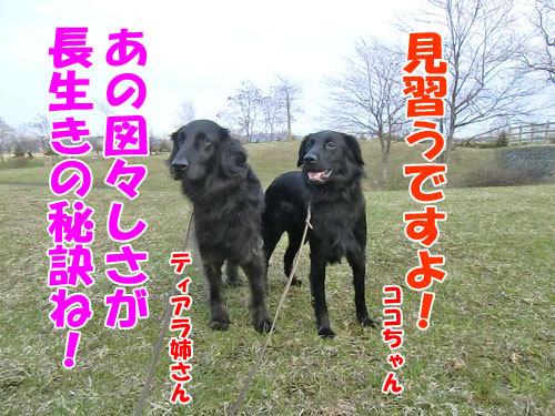 チャンスとティアラ+ココ-20130510-7-500.jpg
