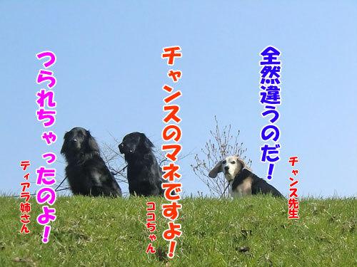 チャンスとティアラ+ココ-20130511-3-500.jpg