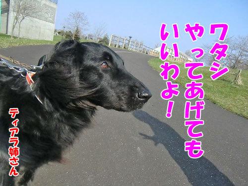 チャンスとティアラ+ココ-20130511-5-500.jpg