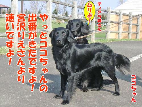 チャンスとティアラ+ココ-20130511-7-500.jpg